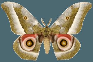 Mopani Worm Moth